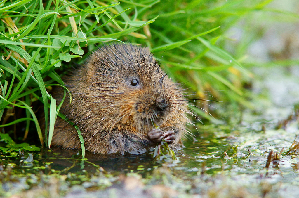 water-vole-peter-trimming-flickr